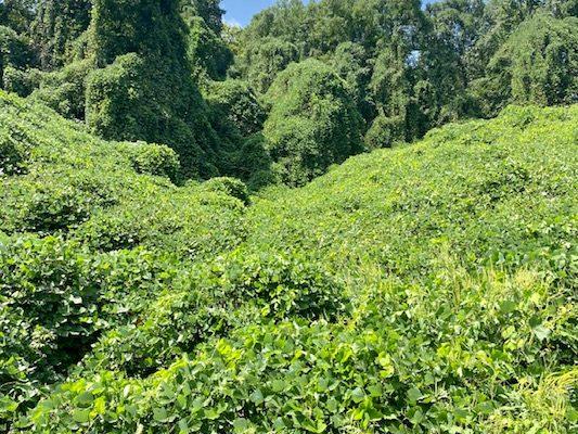 green kudzu grows over a hill