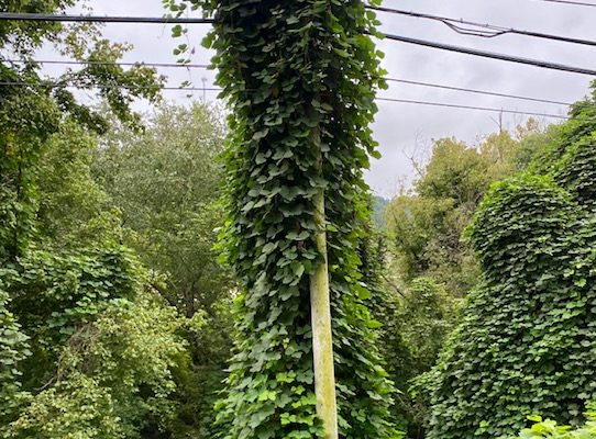 kudzu grows up the side of an electric pole and hill